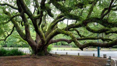 Alt wie ein Baum …